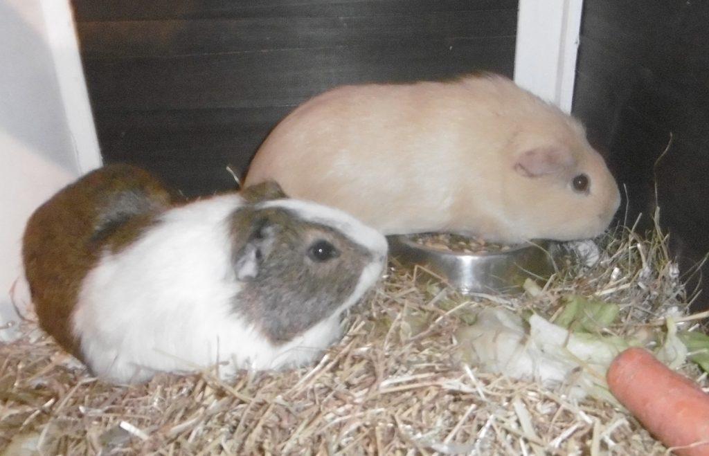 Zwei Meerschweinchen auf einem Bett aus Stroh, ein braunes und eines mit weißen, braunen und grauen Flecken.