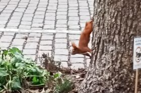 Ein Eichhörnchen klettert einen Baum hinunter