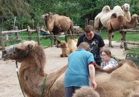 Zwei Männer und eine Frau striegeln ein Kamel. Im Hintergrund weitere Kamele.